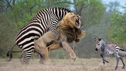 Too Brave! Powerful Mother Zebra Come To Rescue Poor Baby Zebra Escapes Lions